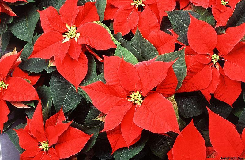sab as el origen ornamental de la flor de pascua