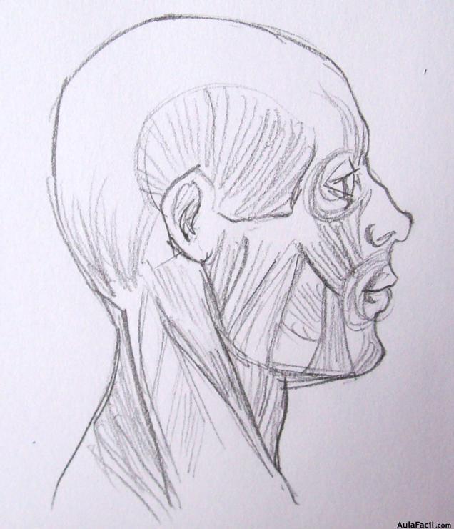 Músculos de la cabeza para colorear - Imagui