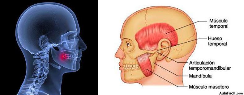 ⏩Cráneo y articulación temporomandibular. Anatomía básica ...