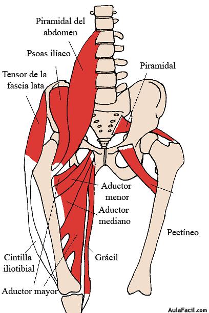 ⏩Cadera y pelivis. Anatomía básica - Fisioterapia | AulaFacil.com ...