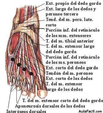 ⏩Tobillo y pie. Anatomía básica - Fisioterapia | AulaFacil.com: Los ...