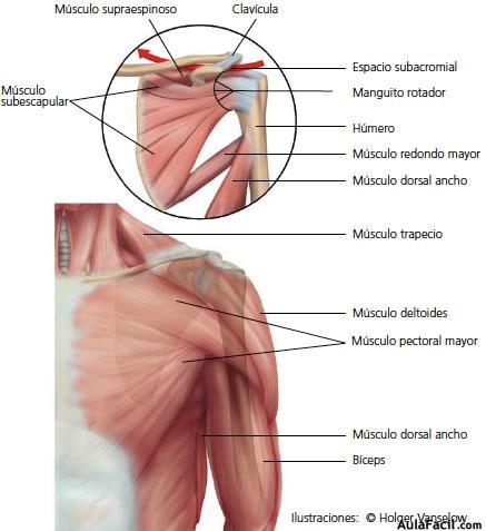 ⏩Hombro. Anatomía básica - Fisioterapia | AulaFacil.com: Los ...