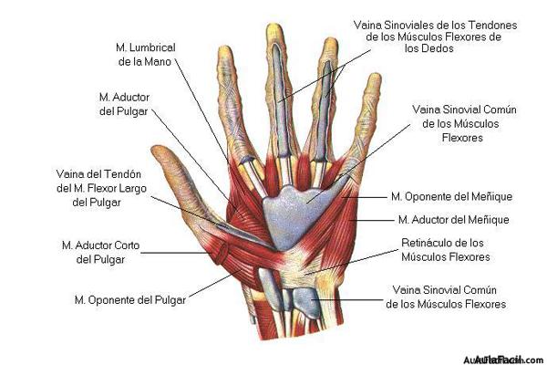 ⏩Carpo y mano. Anatomía básica - Fisioterapia | AulaFacil.com: Los ...