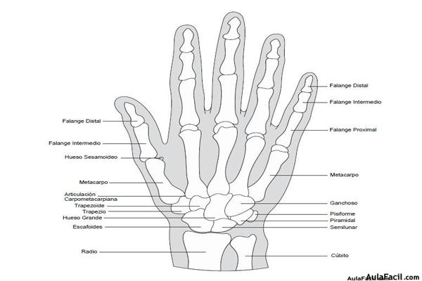 ⏩Carpo y mano. Anatomía básica - Fisioterapia   AulaFacil.com: Los ...
