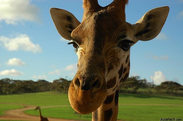 jirafa cabeza