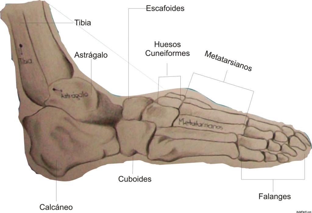Curso gratis de Pedicura - Huesos de los pies | AulaFacil.com: Los ...