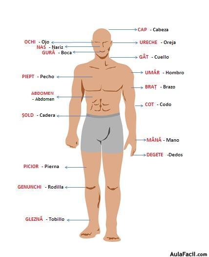 ⏩El cuerpo humano - Rumano para principiantes | AulaFacil.com: Los ...