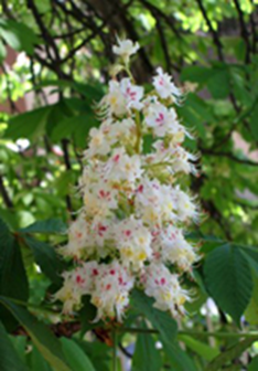 35 White Chestnut