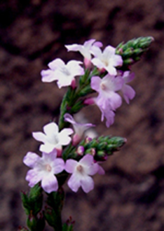 31 Vervain